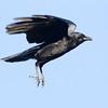 American Crow San Luis Rey River 2011 12 25 (3 of 3).CR2