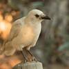 American Crow (Leucistic)  Encinitas 2017 12 15-5.CR2