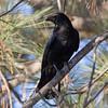 American Crow  Leucadia 2011 12 05 (1 of 2).CR2