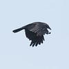 American Crow  San Elijo Lagoon 2020 06 08-1.CR2