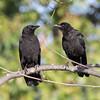 American Crow Encinitas  2011 06 03-4.CR2