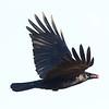 American Crow  Oceanside 2012 02 16 (1 of 2).CR2