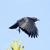 American Crow San Luis Rey River 2011 12 25 (2 of 3).CR2