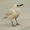 American Crow (Leucistic)  Encinitas 2017 12 15-3.CR2