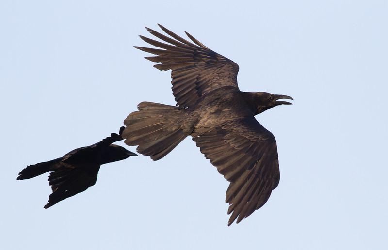 Common Raven American Crow SLR Oceanside 201105 25-1.CR2-1.CR2
