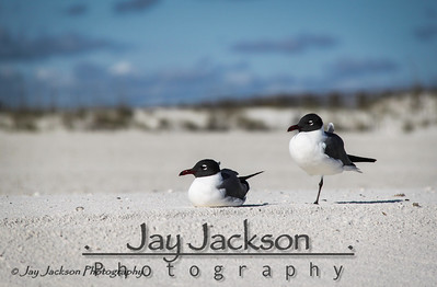 Laughing Gull couple relaxing on the beach in Orange Beach, AL