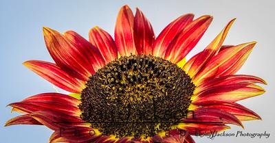 Red sunflower in Jonesborough, TN