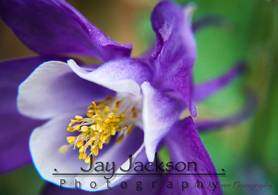 I didn't have to go too far for this one.  This is a Colorado Blue Columbine (Aquilegia Caerulea) in our front flower bed.