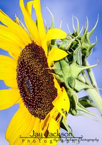 Sunflower in Jonesborough, TN