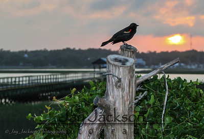 Red Winged Blackbird at sunset in Murrell's Inlet, SC