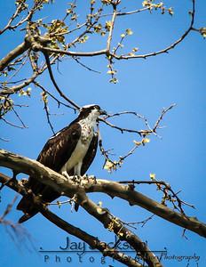 Osprey overlooking the Potomac River in Alexandria, VA.