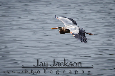 This Great Blue Heron was flying low over Lake Jordan in Alabama just after a large thunderstorm blew through.