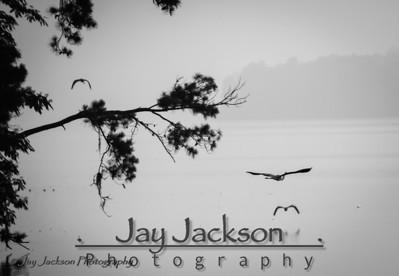 Great Blue Herons flying away on a late foggy afternoon at Lake Jordan, AL
