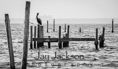 Brown Pelican on an old pier in Pensacola, FL