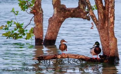A mallard couple sharing a branch on South Holston Lake in Bristol, VA