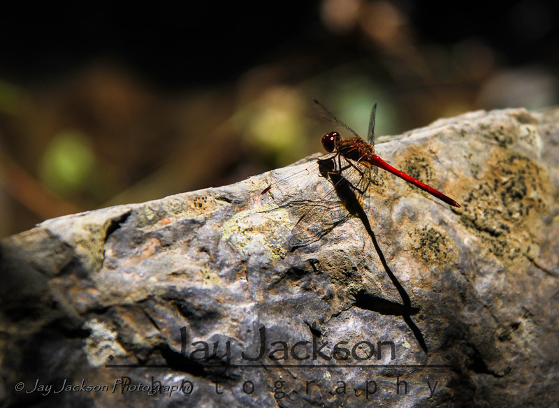 Red dragonfly on a rock near the creak at Hungry Mother State Park in Marion, VA.