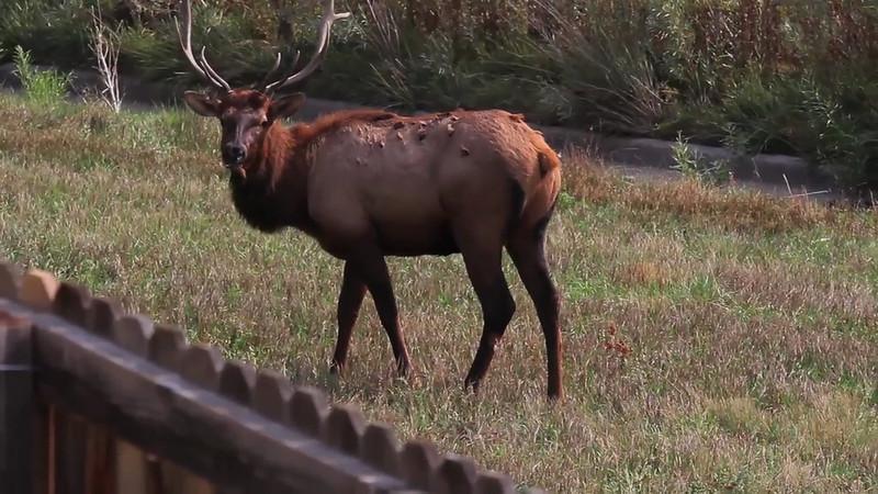 Backyard Bull Elk Videotaped September 2012