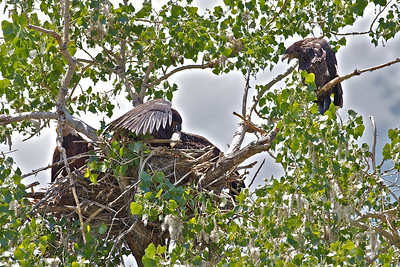 Baby Eagles