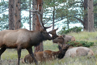 13 point Bull Elk and his girls