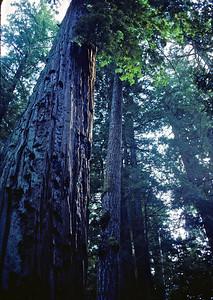 Redwoods in Big Basin Redwoods State Park