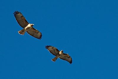 Pair of Colorado red tailed hawks.