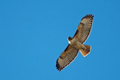 Colorado red tailed hawk.