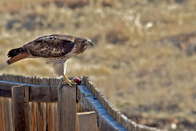 This Hawk just caught a mouse in the open space behind our home.
