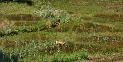 Dutch Creek Deer