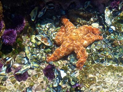 Laguna Beach California Starfish