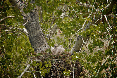 Baby hawks about 3 weeks old...