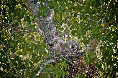 Baby hawks almost 4 weeks old...