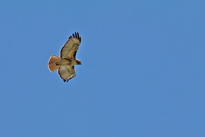One of the parent hawks...