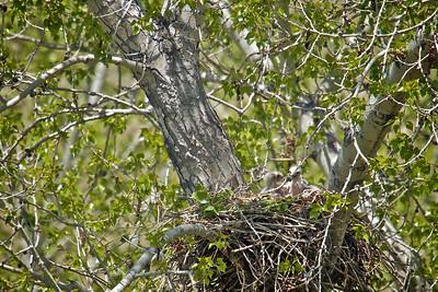 3 baby hawks 1 week old...