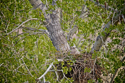 Baby hawks 2 weeks old...