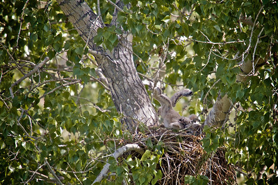 Baby hawks almost 4 weeks old...
