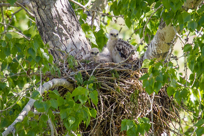 Baby Red-Tailed hawks