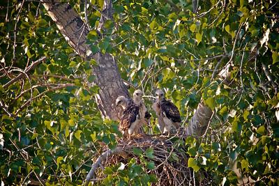 Baby hawks 4 weeks old...