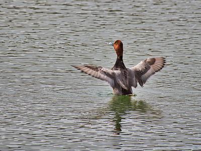 Redhead Duck in Hine Lake