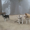 Real live sled dogs!