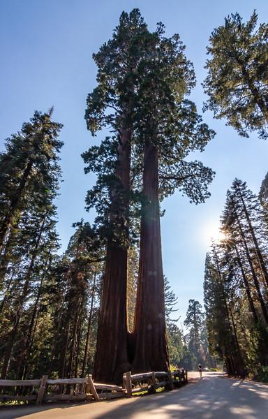 sequoia-3237