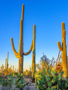 saguaro national park-1173