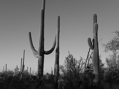 saguaro national park-1172