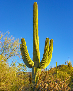 saguaro national park-1140