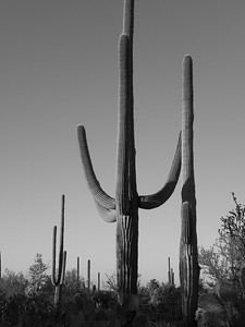 saguaro national park-1171