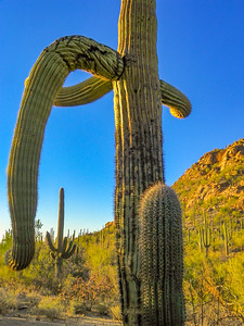 saguaro national park-1118