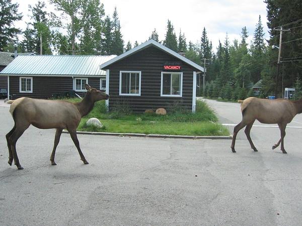 Elk at Pine Bunaglows