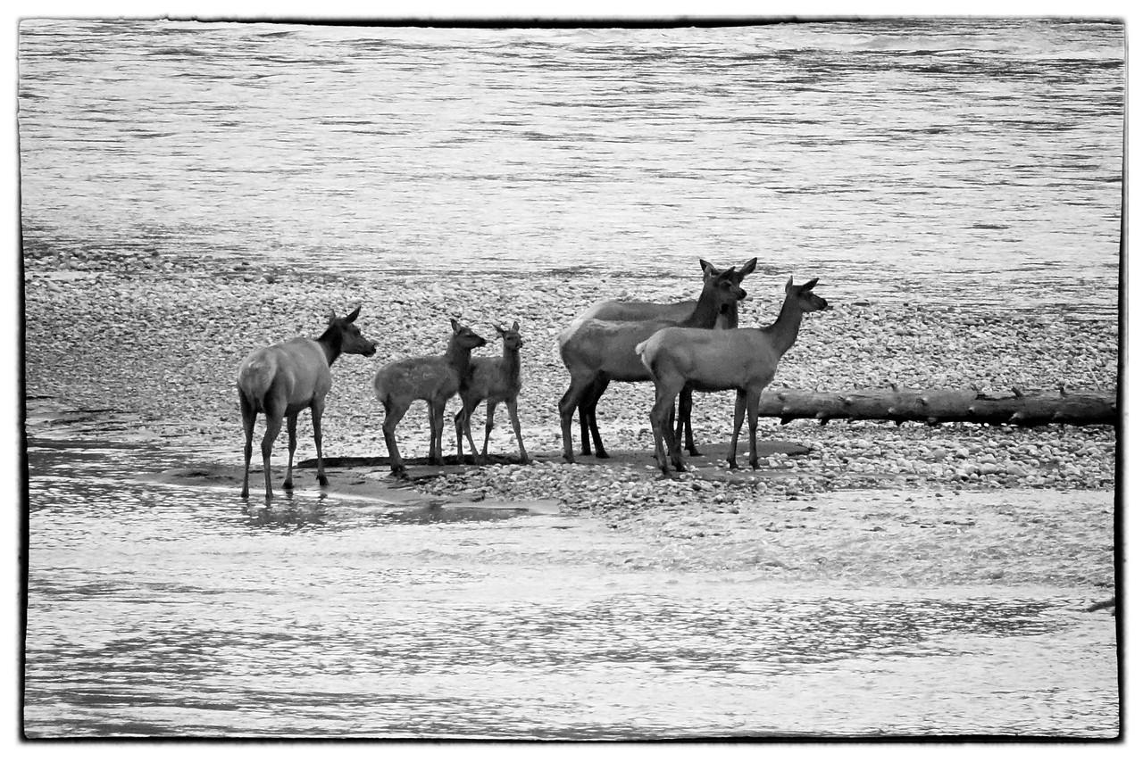 Elk in Jasper