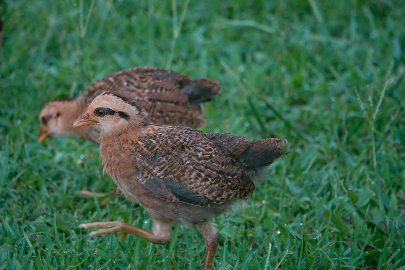 Baby chicks follow mom on the island of Kauai