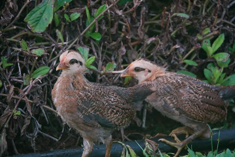 Mor ebaby chicks in Kauai