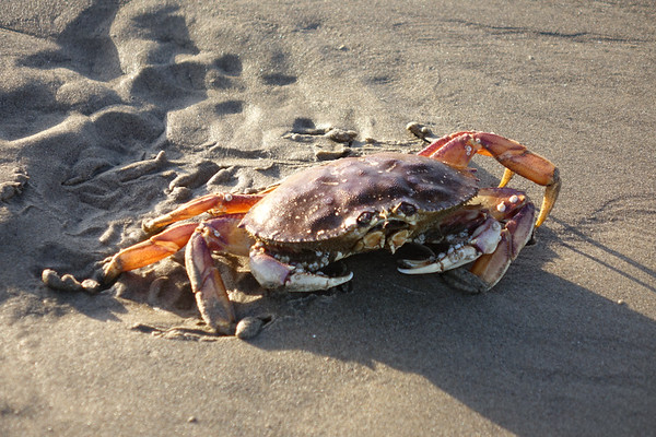 Crabs wash up on the sands of Cannon Beach in early mornings, during low tide, and often don't make it back home.